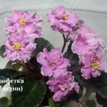 Фиалка Конфетка Макуни ретро розовая