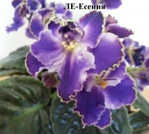 Фиалка Есения Лебецкая белая фиолетовая