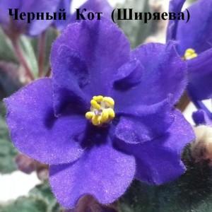 Фиалка Черный Кот Ширяева пестролистная фиолетовая черная ретро