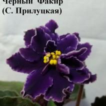 Фиалка Черный  Факир фото