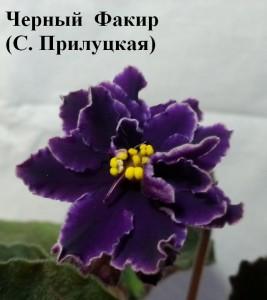 Фиалка Черный Факир Прилуцкая ретро
