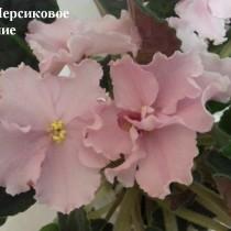 Фиалка Персиковое Сияние Лебецкая розовые