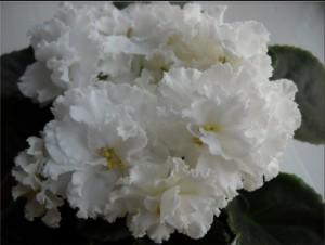 Фиалка Свадебный Букет Морев белые