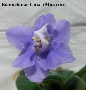 Фиалка Волшебные Сны голубая ретро Макуни
