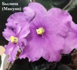 Фиалка Былина Макуни ретро розовая сиреневая лиловая