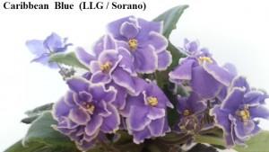 Фиалка Caribbean Blue Sorano синяя