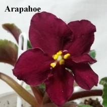 Фиалка Arapahoe фото