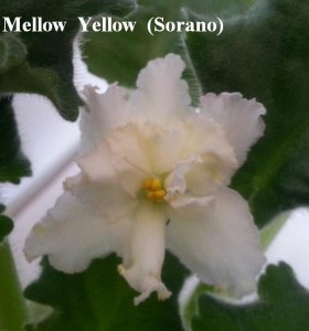 Фиалка Mellow Yellow