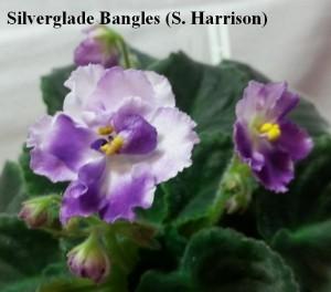 Фиалка Silverglade Bangles
