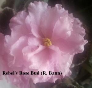 Фиалка Rebel's Rose Bud розовая