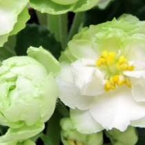 Фиалка Весенняя Роза Spring Rose белая Sorano