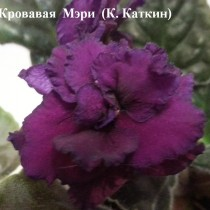 Фиалка Кровавая Мэри Каткин ретро