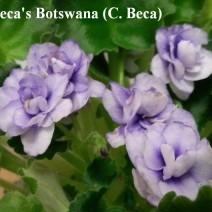 Фиалка Baca's Botswana фото
