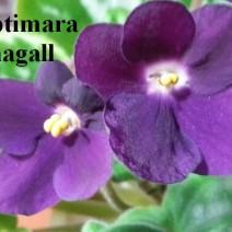 Фиалка Optimara Chagall фото