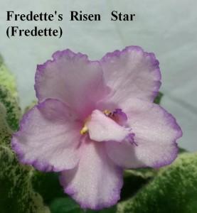 Фиалка Fredette's Risen Star (Fredette) фото