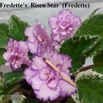 Фиалка Fredette's Risen Star розовая ретро пестролистная
