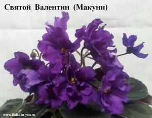Фиалка Святой Валентин Макуни ретро вишневая фиолетовая