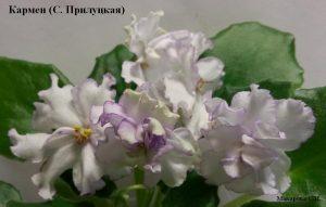 фиалка Кармен Прилуцкая ретро белая
