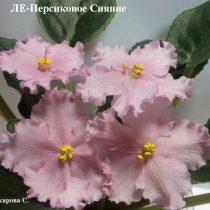 Фиалка ЛЕ-Персиковое Сияние розовая персиковая Лебецкая