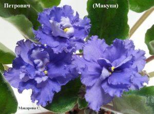 иалка Петрович синие Макуни ретро