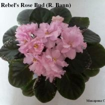 Rebel's Rose Bud розовая пестролистник