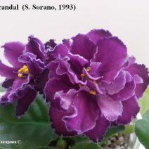 Фиалка Scandal (Скандал) фото