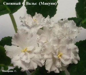 Фиалка Снежный Вальс Макуни белая ретро