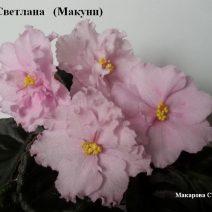Фиалка Светлана фото
