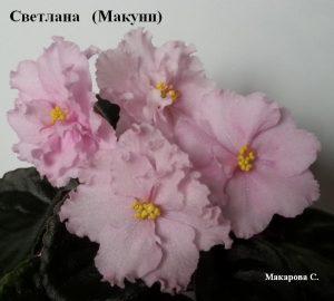 фиалка Светлана Макуни розовые ретро