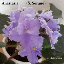 Фиалка Anastasia фото