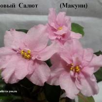 Фиалка Розовый Салют Макуни ретро розовая