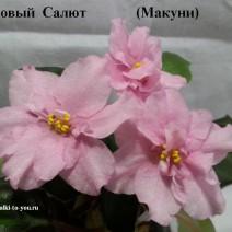 Фиалка Розовый Салют фото