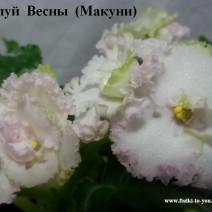 Фиалка Поцелуй Весны фото