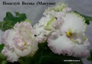 Фиалка Поцелуй Весны