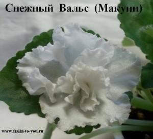 Фиалка Снежный Вальс Макуни ретро белая