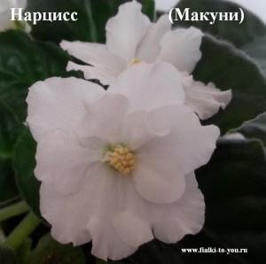 Фиалка Нарцисс
