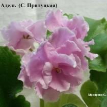 Фиалка розовая Адель Прилуцкая ретро