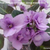 Фиалка Paul Bunyan фото