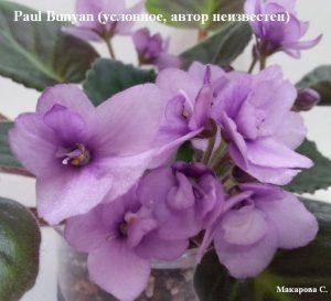 Фиалка Paul Bunyan сиреневые фиолетовые ретро махровые