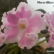 Фиалка Мила Школьный Вальс белая розовая