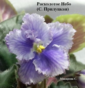 Фиалка Расколотое Небо Прилуцкая ретро голубые белые