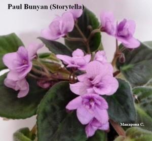 Фиалка Paul Bunyan