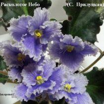 Фиалка Расколотое Небо Прилуцкая ретро белая голубая