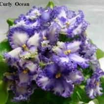 Фиалка Curly Ocean фото