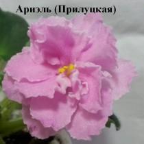 Фиалка розовая Ариэль Прилуцкая ретро