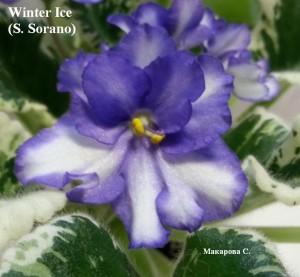 Фиалка зарубежная белая пестролистная Winter Ice Sorano