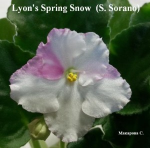 Фиалка Lyon's Spring Snow