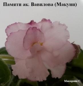 Фиалка Памяти Академика Вавилова