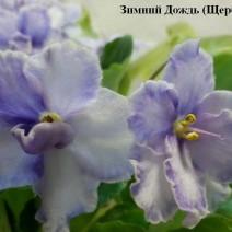 Фиалка Зимний Дождь фото