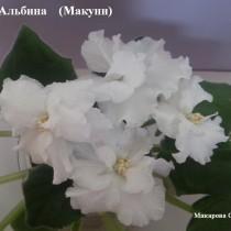 Фиалка Альбина Макуни ретро белая